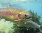 rainbow trout t-1667