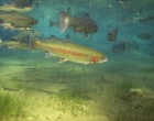 Rainbow Trout T-1736
