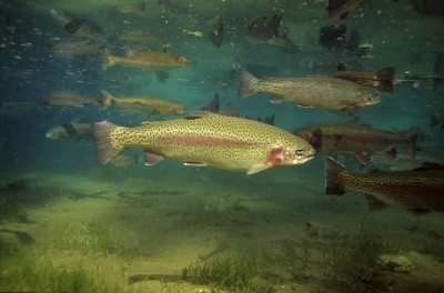 Rainbow Trout T-1738